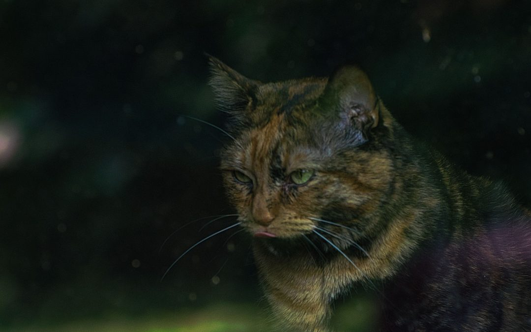 Tortoiseshell cat looking out a window