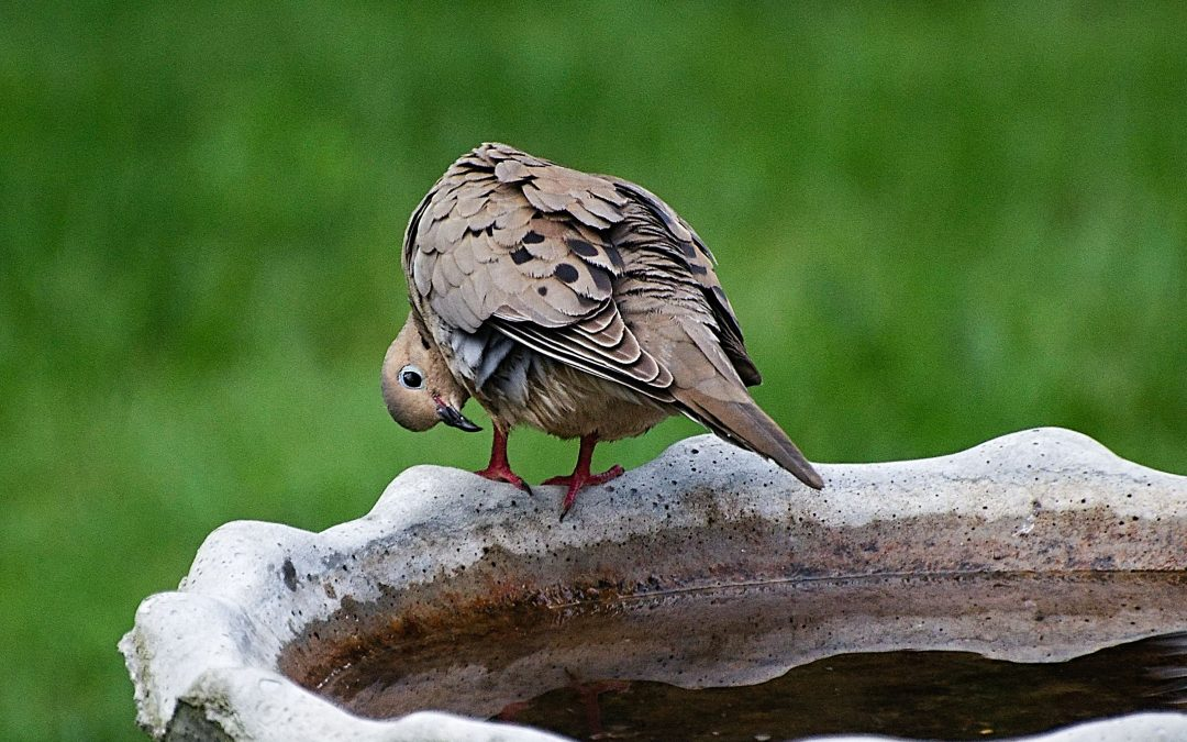 mourning dove looking at his feet while perched on a birdbath. featured image for blog post chemotherapy update.